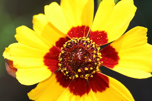 Yellow flower red center choice image flower decoration ideas yellow flower red center choice image flower decoration ideas yellow flower with red center image collections mightylinksfo